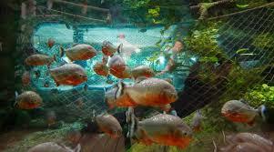 bellied piranha aquarium la rochelle