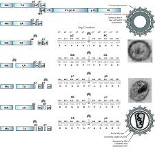 Human Immunodeficiency Virus Gag And Protease Partners In