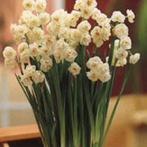 gardening plant finder daffodil
