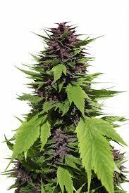 fin de floraison cannabis exterieur graines de cannabis féminisées frisian duck avec des feuilles