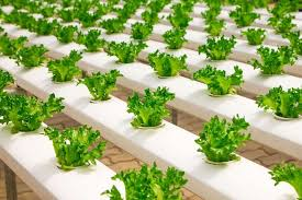 häufige probleme in hydrokulturen indoorgarten