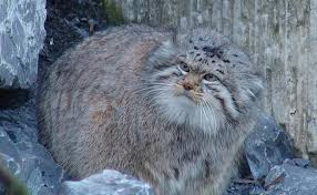 mountain cat pallas s cat found for the time in nepal wildlife