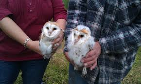 Barn Owl Update - Two Babies! - Rye Meads - Rye Meads - The RSPB ... Barn Owl Focus On Cservation Best 25 Baby Ideas On Pinterest Beautiful Owls Barn Steal The Show As Day Turns To Night At Heartwood Family Ties Owl Chicks Let Their Hungry Siblings Eat First The Perch Uncommon Banchi Baby Coastal Home Giftware From Horizon Stock Image Image Of Small Young Looking 3249391 You Know Birdnote Banding By Alex Lamoreaux Nemesis Bird