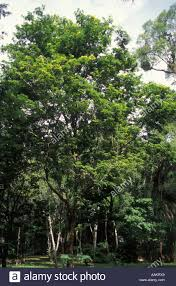100 Pau Brazil Wood Tree National Tree Of Caesalpinia Echinata