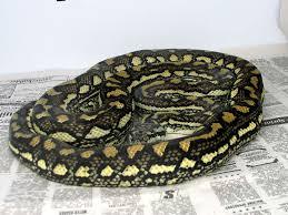 Coastal Carpet Python Facts by Diamond Carpet Python Carpet Vidalondon