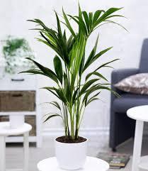 zimmerpflanze kentia palme 1 pflanze kaufland de