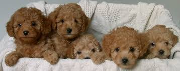 i love dogs fluffy dogs that don t shed hypoallergenic dog breeds