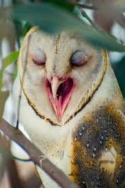 35 Best Owls Yawning Images On Pinterest | Owls, Snowy Owl And ... Tasmian Masked Owl Wikipedia Sylvierland Moments And Thoughts Owl In Front Of The Farmer Writes Threats To Barn 13 October 2015 Free Barn New Zealand Birds Online Tyto Alba Species Owls Have Nesting Bonanza Region Npareilonlinecom How Find Photograph Owls Bird Photography Audubon Ms De 25 Ideas Increbles Sobre Sounds En Pinterest Kansas Citys Get All The Help They Need At Lakeside Nature Australia Australian Geographic Local Wildlife Landscape Our Local Voice