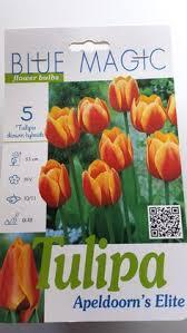 golden oxford darwin tulip 50 bulbs golden yellow 12 cm