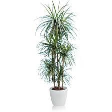plantes vertes d interieur dracaena marginata 5 pieds rempoté dans pot lechuza classico blanc