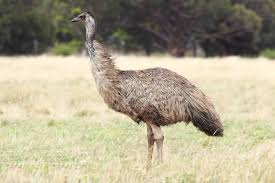 Tall and majestic the emu belongs to a group of flightless