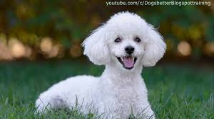 Top 10 Dogs That Dont Shed by Top 10 Family Dog Breeds Kid Friendly Youtube