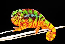 Basking Lamp For Chameleon by Chameleon Care Sheet Captive Bred Reptiles For Sale Tortoise