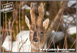 When Do Whitetails Shed Their Antlers by So Why Do Deer Even Have Antlers Jake U0027s Bones
