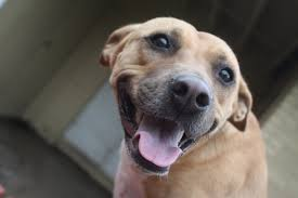 Do Black And Tan Coonhounds Shed by 5 Facts About The Black Mouth Cur Animalso