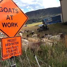 Goats fight weeds on Rio Grande Trail