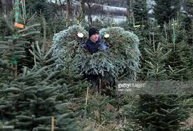 Kinds Of Christmas Trees by Christmas Tree Farmers Enjoy A Bumper Harvest Photos And Images