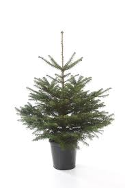 Potted Christmas Tree by Potted Living Christmas Tree The Christmas Forest