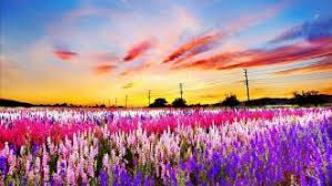 Field Nice Pretty Sky Amazing Nature Meadow Colorful Fiery Beautiful Lovely Sunset Clouds Flowers Summer Spring
