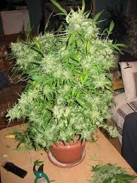 superior le croissance floraison 11 peace cannabis dans