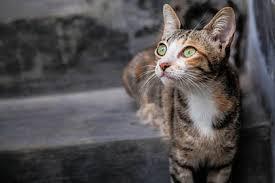 cisapride for cats cat megacolon causes symptoms diagnosis treatment cat world