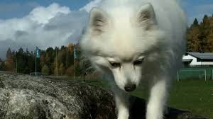 Do Samoyed Dogs Shed Hair by 025 My Japanese Spitz Seasonal Shedding Youtube