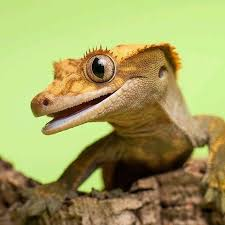 Crested Gecko Shedding Signs by 78 Best Happy Leopard Geckos U0026 Crested Gecko Images On Pinterest
