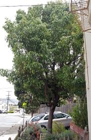 Christmas Tree Species For by Urban Tree Species Directory Friends Of The Urban Forest