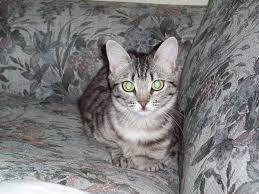 fatty liver cats fatty liver disease kitten weight feline cats
