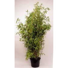 bambou non traçant non envahissant et non invasif