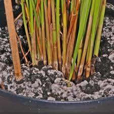 schachtelhalmjauche herstellen so geht s pflanzen