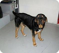 Do Shar Pei Lab Mix Shed by 100 Do Shar Pei Lab Mix Shed Is The Border Collie Lab Mix