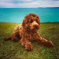 Do F2 Cockapoos Shed by 15 Best Teddy The Cockapoo Images On Pinterest Cockapoo The O