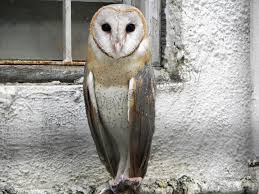 Barn Owl | Mod Eye Moody Black Barn Owl Oc Eclipse By Pkhound On Deviantart Closeup Of A Stock Photo 513118776 Istock Birds Of The World Owls This Galapagos Barn Owl Lives With Its Mate A Shelf In The Started Black Paper Today Ref Paul Isolated On Night Stock Photo 296043887 Shutterstock Stu232 Flickr Bird 6961704 Moonlit Buttercups Moth Necklace Background Image 57132270 Sd Falconry Mod Eye Moody
