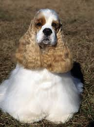 Do Brittany Spaniels Shed Hair by Cocker Spaniel Dog Breed Information