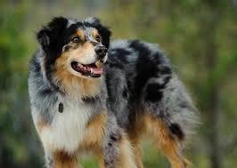 Do Blue Heeler Border Collies Shed by 10 Smartest Dog Breeds