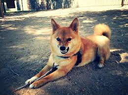 Do Shibas Shed A Lot by How To Stop My Shiba Inu From Biting Me Animalwised