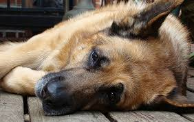 Short Haired Dogs That Shed The Most by German Shepherd Shedding The Full Guide To Control Dog Shedding