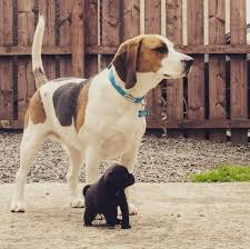 Do Bluetick Coonhounds Shed by Harrier Dog Breed Information Pictures Characteristics U0026 Facts