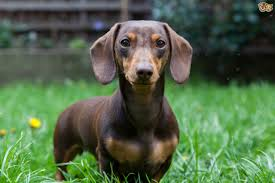 Non Shedding Small Dogs Australia by Miniature Dachshund Dog Breed Information Buying Advice Photos