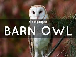 GALAPAGOS BARN OWLS By Bella.chopra Watch The Secret To Why Barn Owls Dont Lose Their Hearing 162 Best Owls Images On Pinterest Barn And Children Stock Photos Images Alamy Owl 10 Fascating Facts About Species List Az 210 Birds Drawing Photographs Of Cave By Tyler Yupangco 312 Beautiful Birds
