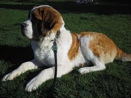 bernard breed profile with