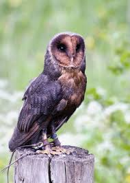 Melanistic Barn Owl By Fremlin On DeviantArt Barn Owl Facts About Owls The Rspb Bto Bird Ring Demog Blog October 2014 Chouette Effraie Lechuza Bonita Sbastien Peguillou Owl Free Image Peakpx Wikipedia Barn One Wallpaper Online Galapagos Quasarex Expeditions Hungry Project Home Facebook Free Images Nature White Night Animal Wildlife Wild Hearing Phomenal Of Nocturnal Wildlife Animal Images Imaiges