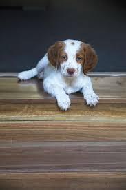30 Dog Breeds That Shed The Most by Brittany Dog Breed Information Pictures Characteristics U0026 Facts