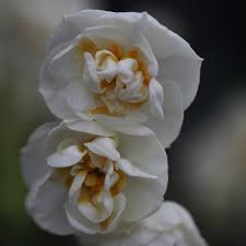 buy daffodil bulbs narcissus bridal crown delivery by crocus
