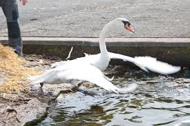Swans Rescued In Southport - Liverpool Echo Yellow Bug Once Upon A Time Wiki Fandom Powered By Wikia Twin Swans Motel Brockway Trucks Message Board View Topic Pic Of The Sleep Deprived Ridealong On Food Truck Provides Glimpse Suburbia Image Detail For New Moon Hq Stills Bella Swan Photo 26178272 Ore Intertional 165 In H Silver Decorative Decork4218d2 Amazoncom Speakers Graceful Menace States Take Aim At Nonnative Swans Times Union Brush Up Waterfowl Idenfication Farm And Dairy Man Faces Charges After Practicing Karate Krdo Schwancom Best Store Deals