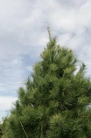 Tannenbaum Christmas Tree Farm Michigan by O Tannenbaum Cut Your Own Tree And Create A Memory Home