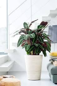22 schöne zimmerpflanzen mit bunten blättern als farbtupfer