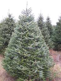 Fraser Fir Christmas Trees Delivered by Jim Smith U0027s Christmas Trees Home Page