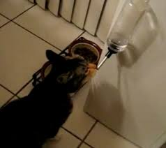 water for cats can cats really drink from water bottles with cerebellar
